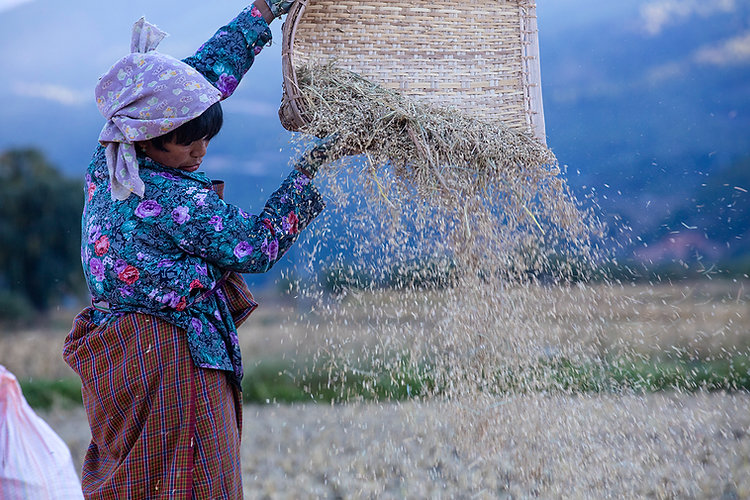 Rice Harvest in Bhutan