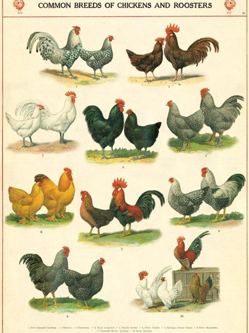 Chicken Poster / Gift Wrap