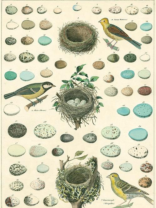 Birds Eggs Poster / Gift Wrap