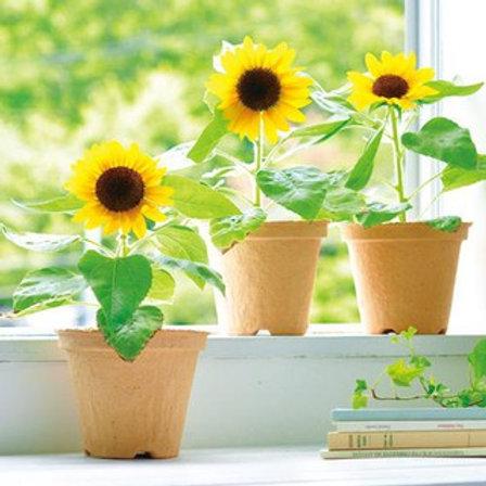 Small Bloom Sunflower Kit