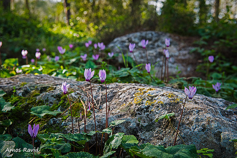 The Cyclamen Forest