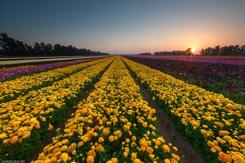 The Secret Buttercups Field