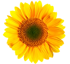 sunflower-transparent-4.png