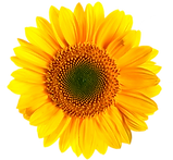 sunflower-transparent-4.png