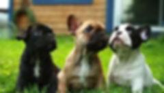 Filhotes de Bulldog Frances, Filhotes de Bulldog Frances preço, Filhotes de Bulldog venda, Filhotes de bulldog sp, Filhotes de Bulldog Frances abc, Filhotes de Bulldog Frances Macho, Filhote de Bulldog Frances Femea