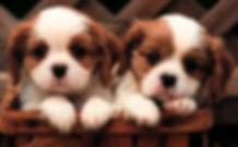 Denguinhos, filhotes de Pug, Bulldog, Lhasa, Shih Tzu, Maltes, Yorkshire, Maltes. www.denguinhos.com.br
