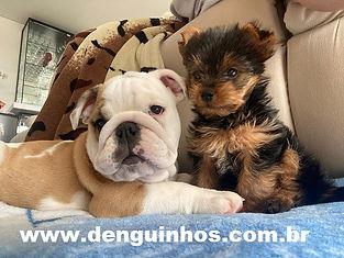 Bulldog e York denguinhos filhotes.jpg