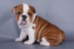 Filhotes de Bulldog Inglês, Filhotes de Bulldog Ingles preço, Filhotes de Bulldog venda, Filhotes de bulldog sp, Filhotes de Bulldog Ingles abc, Filhotes de Bulldog Ingles Macho, Filhote de Bulldog Ingles Femea