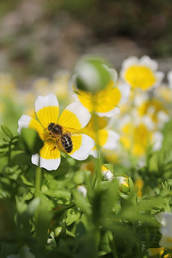 bee on poached egg plant.JPG