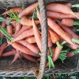 Carrots 500g.