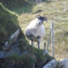 porteous architects sheep
