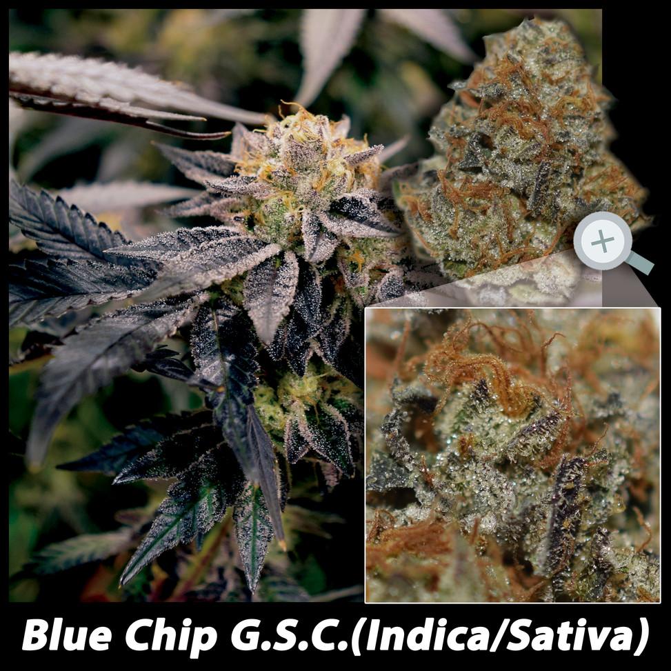 Blue Chip GSC details email.jpg