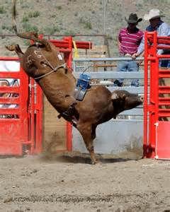 bucking bull.jpg