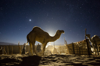 0058_Bull Camel under Venus.small.jpg