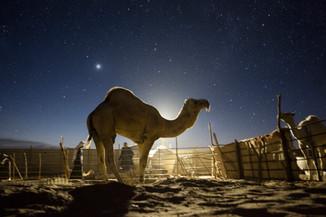 0058_Bull Camel under Venus.small.jpg