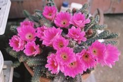Cuctus flower