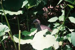 Turtledove in the wood