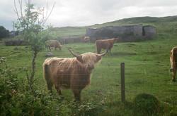 Highland cows or legendary vikings