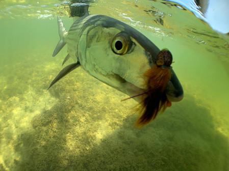 Florida Bay Bonefish