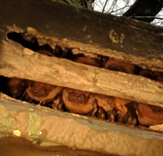 noctules in bat box