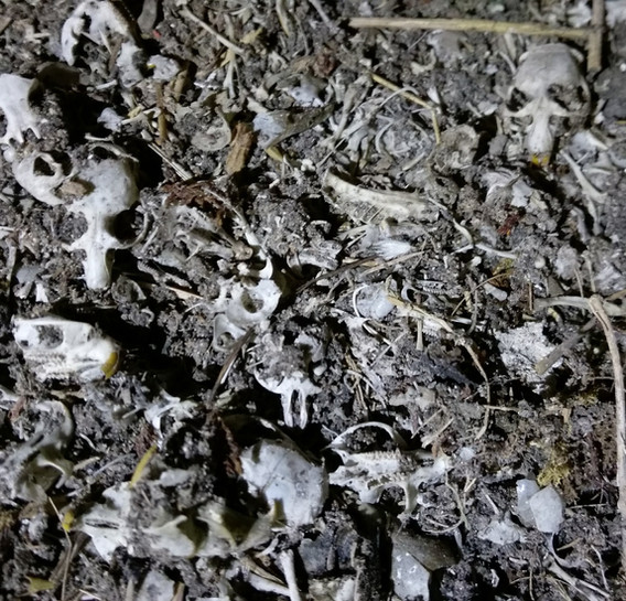 barn owl pellets