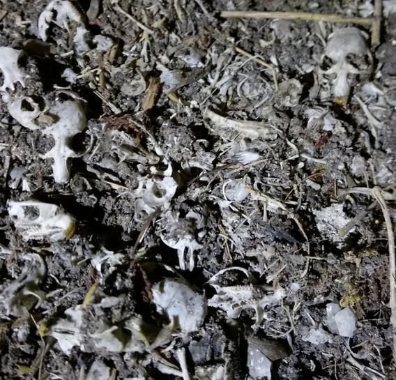 barn owl pellets