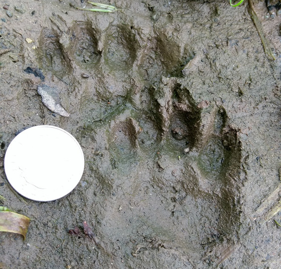 badger tracks