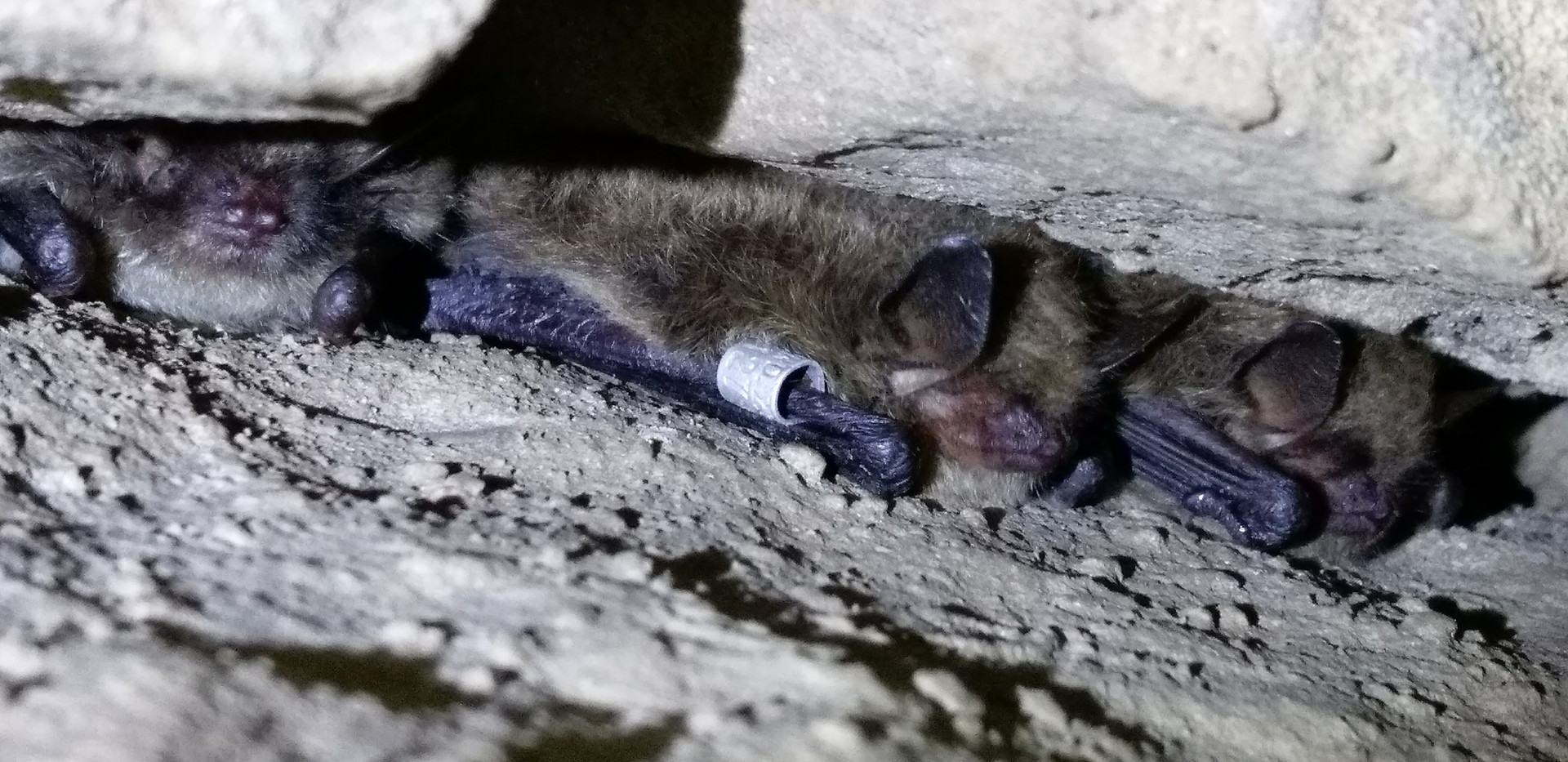 hibernating whiskered / Brandt's bat
