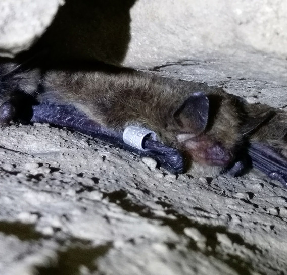 hibernating whiskered / Brandt's bat