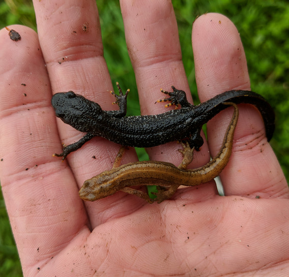 great crested and smooth newt