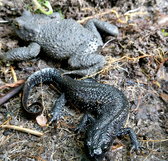 great crested newt and common toad