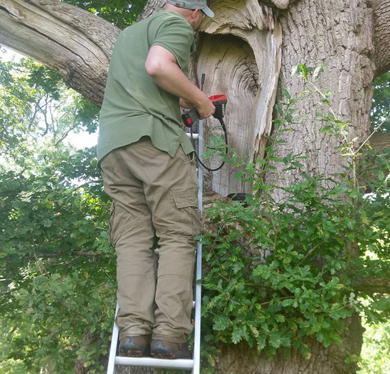 inspecting trees for bats