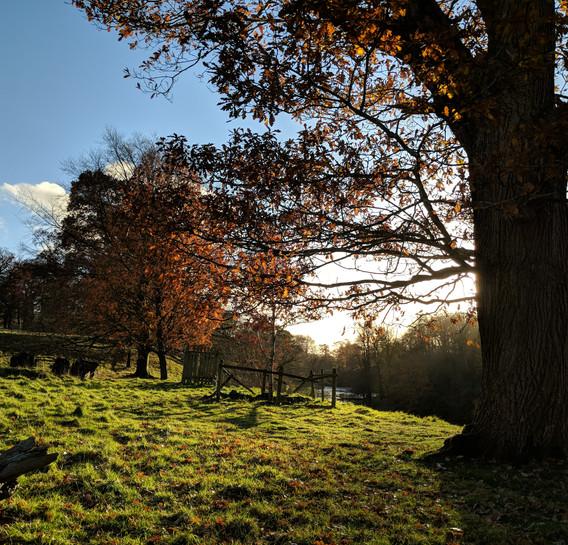 parkland oak trees