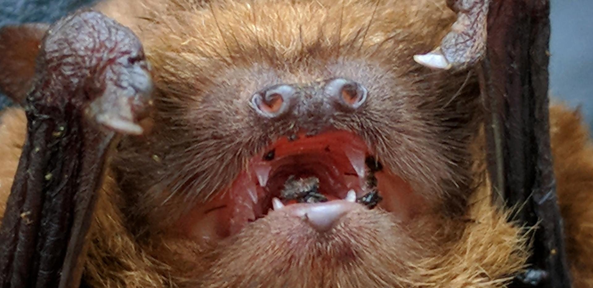 soprano pipistrelle bat face