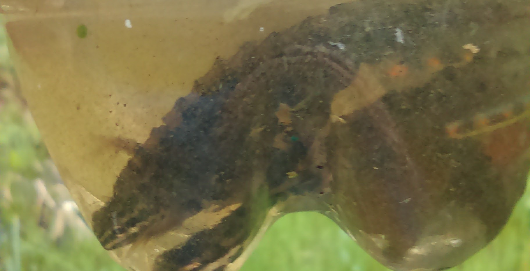 male smooth newts