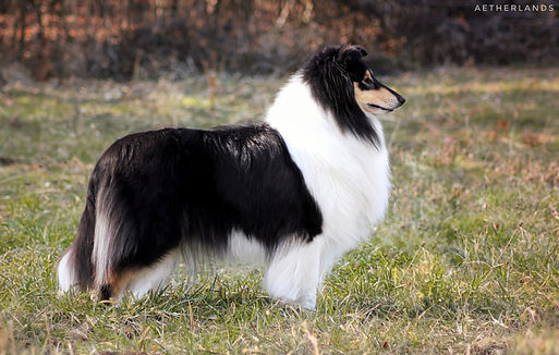 Glam N Gorgeous of the Windy Lands, rough collie