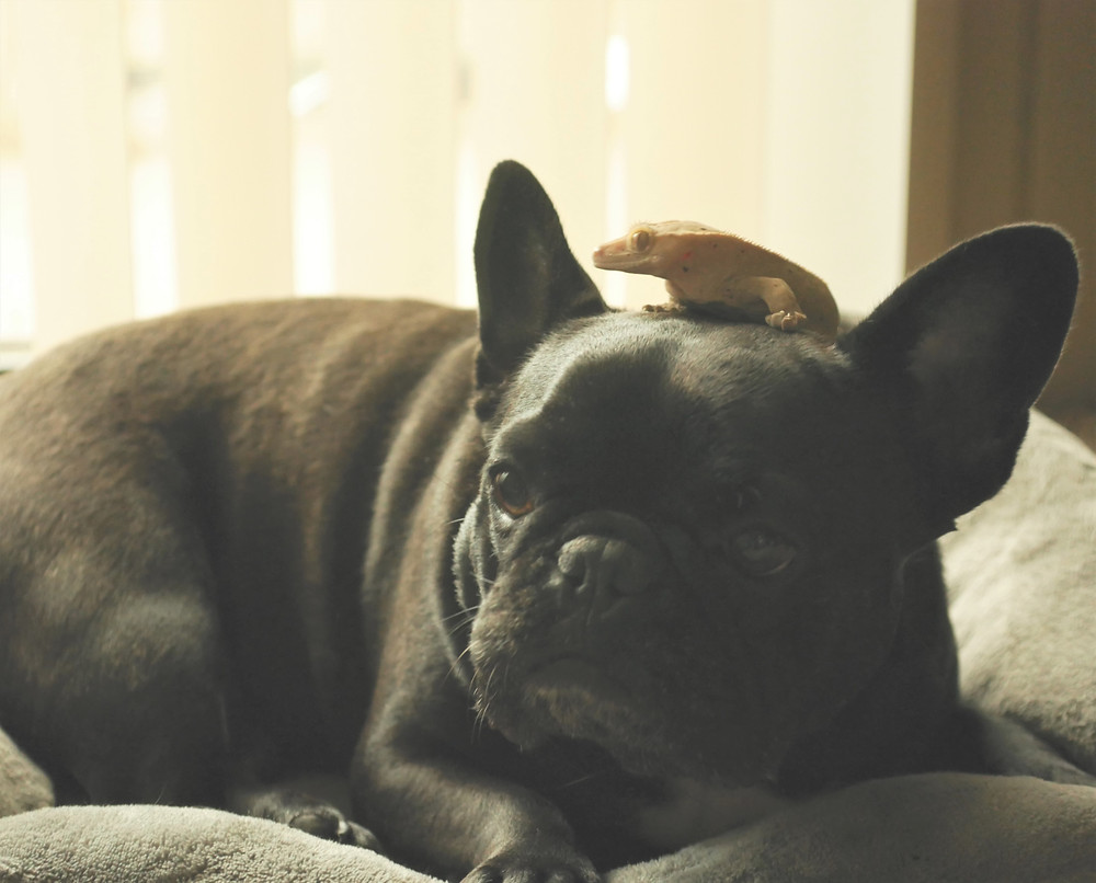 Rey, Frank's Frenchie dog, and Dart, his crested gecko, sit together on a bed.
