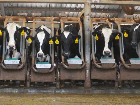 Πρακτικές Βιομηχανίας σε αγελάδες