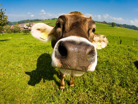 Οι κρυφές ζωές των αγελάδων