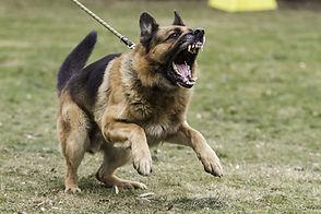 aggressive dog.jpg