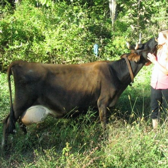 Having a Family Cow