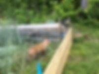 Piglet.fenceline.jpg
