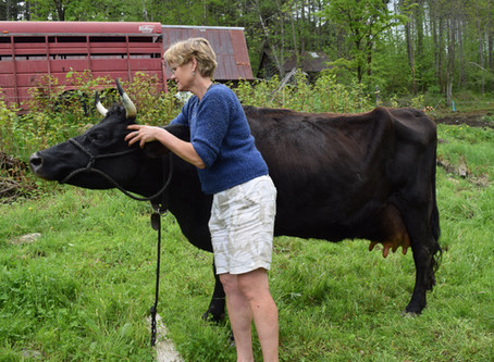 Adding a Family Cow to the Homestead Farm
