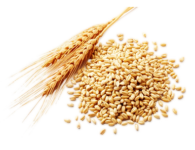 durum-wheat.png