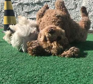 boston terrier schnauzer