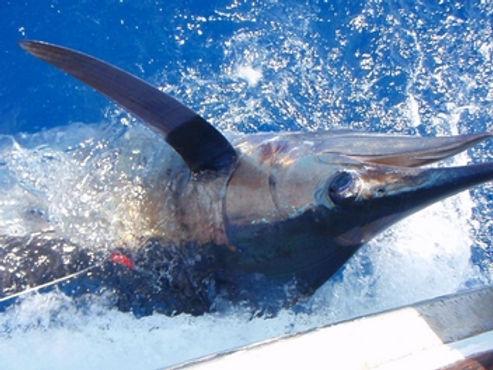 Blue Marlin / Pla Tong Teng / Makaira nigricans / catch by Thailand-Fishing.