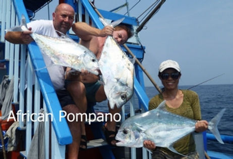 African Pompano / Pla Chom Ngam / Alectis ciliaris / catch by Thailand-Fishing.