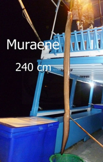 Moray / Pla Lod Hin / Muraenidae / catch by Thailand-Fishing.