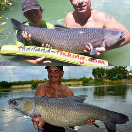 Chinese Black Carp / Pla Tjin Dam / Mylopharyngodon Pieceus / catch by Thailand-Fishing.