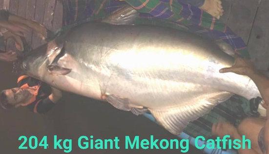 204 kg Catfish at New Bungsamran